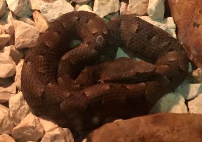Rainforest Hognosed Pit Viper