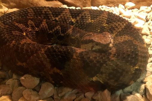 Jumping Pit Viper