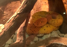 Golden Eyelash Palm Pitviper