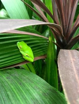 Red Eyed Leaf Tree Frog
