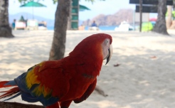 Scarlet Macaw, Isla Tortuga