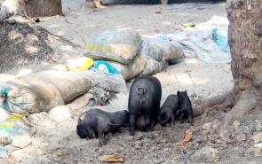 Piggies, Isla Tortuga