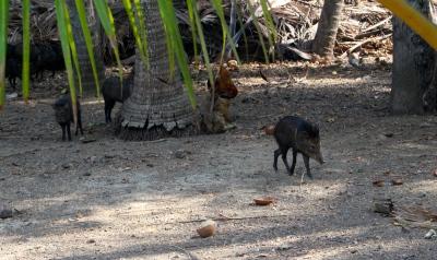 Wild Boar, Isla Tortuga