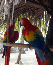 Scarlet Macaws, Isla Tortuga