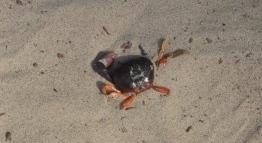 Mangrove Crab, Isla Tortuga