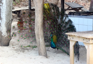 Peacock, Isla Tortuga - trying to find our leftovers in the kitchen