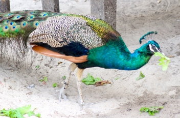 Peacock, Isla Tortuga