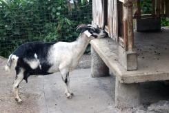 Goat, Xandari Resort