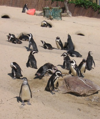 African Penguin, Living Coasts, Torquay