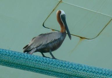 Pelican on cruise shop in St John's