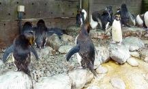 Macaroni penguins, Living Coast, Torquay