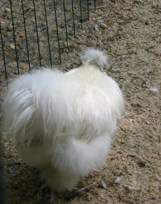 Cute Silkie Chicken on Margaret Island