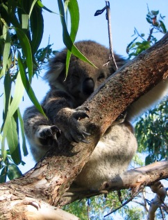 First glimpse of these gorgeous creatures - Koala Conservation Centre Phillip Island