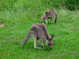 So excited - spotted my first kangaroo...