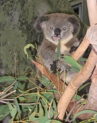 Posing Koala